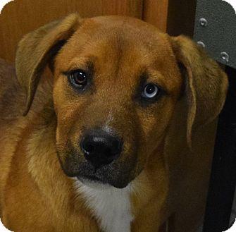 Mastiff/Bloodhound Mix Puppy for adoption in Hartford, Kentucky - Finn
