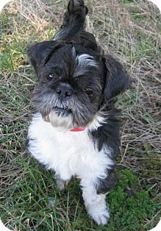 Shih Tzu Dog for adoption in Huntsville, Alabama - Mr. T