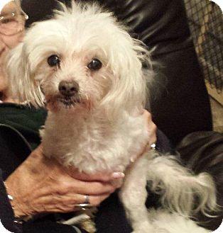 Maltese Dog for adoption in West Harrison, New York - Bosco*Adopted