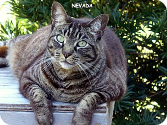 Domestic Shorthair Cat for adoption in Naples, Florida - Nevada