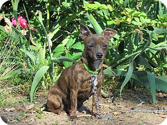 Chihuahua Mix Dog for adoption in Newburgh, New York - LIZZIE