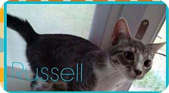 Domestic Shorthair Kitten for adoption in Ludowici, Georgia - Russell