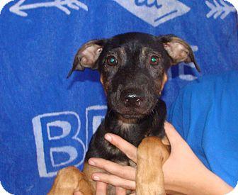 German Shepherd Dog/Labrador Retriever Mix Puppy for adoption in Oviedo, Florida - Danny