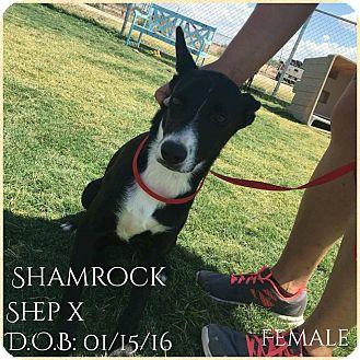 Shepherd (Unknown Type) Mix Puppy for adoption in DeForest, Wisconsin - Shamrock