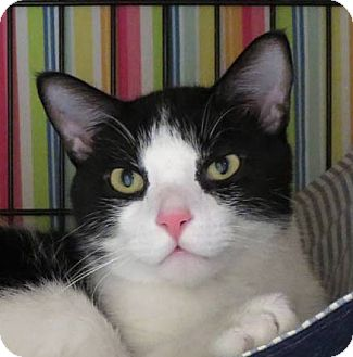 Domestic Shorthair Cat for adoption in Norwalk, Connecticut - Letterman