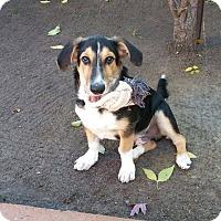 Adopt A Pet :: Philou - Vaudreuil-Dorion, QC