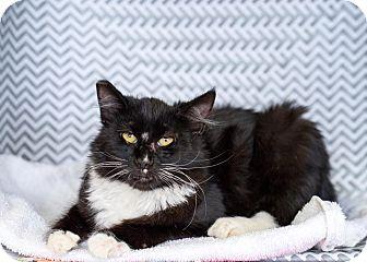 Domestic Mediumhair Kitten for adoption in Montclair, California - Todd