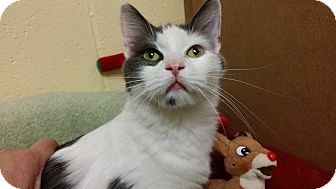 Domestic Shorthair Cat for adoption in Kensington, Connecticut - Sadie