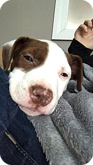 Bulldog/Terrier (Unknown Type, Medium) Mix Puppy for adoption in Sterling, Massachusetts - BOW
