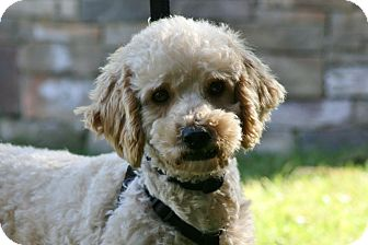 Lhasa Apso/Poodle (Miniature) Mix Dog for adoption in Carlsbad, California - Dexter