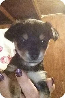 Yorkie, Yorkshire Terrier/Chihuahua Mix Puppy for adoption in springtown, Texas - lil Oscar