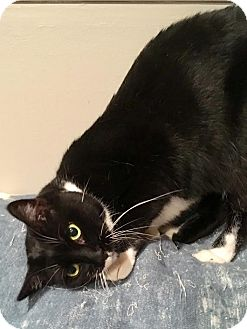 Hemingway/Polydactyl Cat for adoption in East Brunswick, New Jersey - Hemi