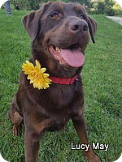 Labrador Retriever Dog for adoption in Torrance, California - Lucy May