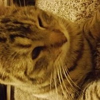 Adopt A Pet :: Lynnly - San Tan Valley, AZ