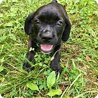 Adopt A Pet :: Hank - Goodlettsville, TN