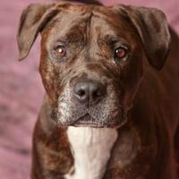 Mastiff/American Pit Bull Terrier Mix Dog for adoption in Harrisonburg, Virginia - Tyson