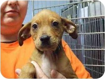 Miniature Pinscher/Terrier (Unknown Type, Small) Mix Puppy for adoption in Mason City, Iowa - Brian
