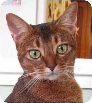 Abyssinian Cat for adoption in Davis, California - Jasmine