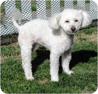 Poodle (Miniature) Dog for adoption in Winnetka, California - GRACIE BELL