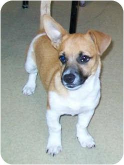 Chihuahua/Corgi Mix Puppy for adoption in Murphysboro, Illinois - Liko