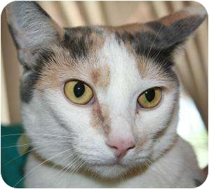 Domestic Shorthair Cat for adoption in Tucson, Arizona - Callie the Second