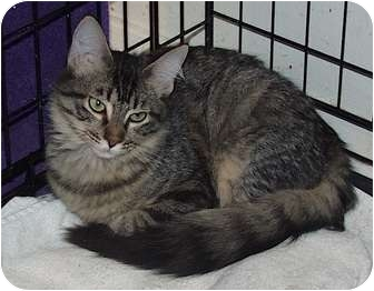 Domestic Mediumhair Cat for adoption in Houston, Texas - Shadow