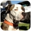 Photo 1 - American Pit Bull Terrier Mix Dog for adoption in Gilbert, Arizona - Sam