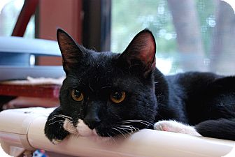 Domestic Shorthair Cat for adoption in Chicago, Illinois - Captain Morgan