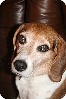 Beagle Dog for adoption in Houston, Texas - Bentley