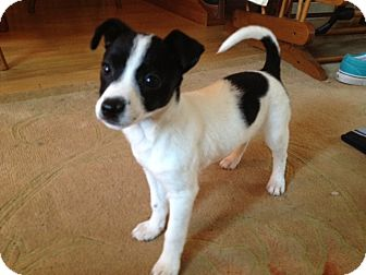 Jack Russell Terrier Mix Puppy for adoption in Youngwood, Pennsylvania - Smitty