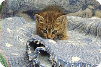 Calico Kitten for adoption in Goldens Bridge, New York - Shine