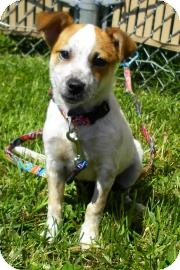 Australian Cattle Dog/Jack Russell Terrier Mix Puppy for adoption in Lincolnton, North Carolina - Hazel
