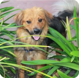 Sheltie, Shetland Sheepdog Mix Dog for adoption in Norwalk, Connecticut - Muppet