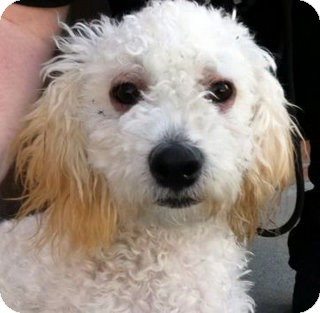 Miniature Poodle Mix Dog for adoption in Los Angeles, California - Elmo *VIDEO*