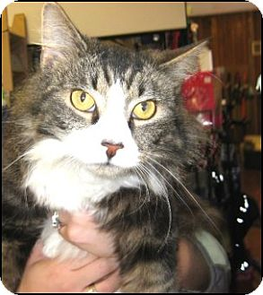 Maine Coon Cat for adoption in Galloway, New Jersey - Riley