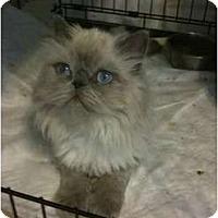 Adopt A Pet :: Nicky - Beverly Hills, CA