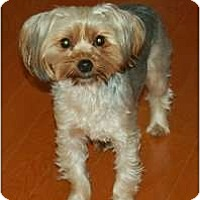Adopt A Pet :: Lilly Belle - Charlotte, NC
