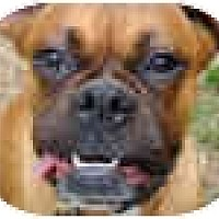 Adopt A Pet :: Bootsi - North Haven, CT