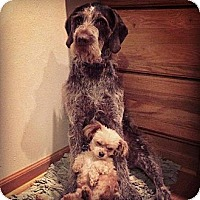 Adopt A Pet :: Bentley - Santa Barbara, CA