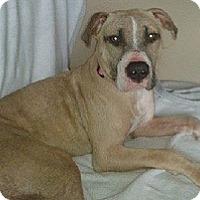 Adopt A Pet :: Giddy - North Wales, PA