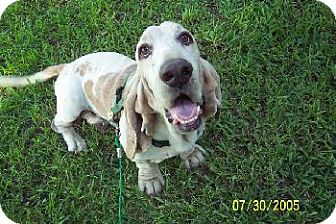 Basset Hound Dog for adoption in Grapevine, Texas - Gaylon