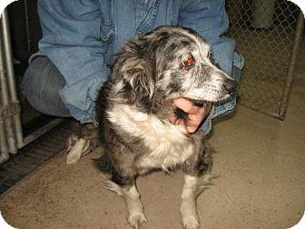 Sheltie, Shetland Sheepdog Mix Dog for adoption in Tyner, North Carolina - Tess