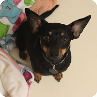 Dachshund Mix Dog for adoption in Naperville, Illinois - Evie