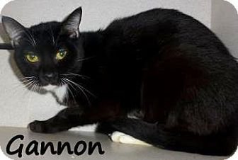 Domestic Shorthair Cat for adoption in Palm Coast, Florida - GANNON