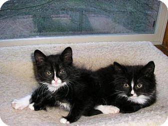Domestic Mediumhair Kitten for adoption in Salem, Oregon - Maggie
