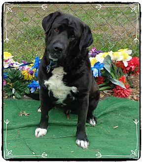 Labrador Retriever Mix Dog for adoption in Marietta, Georgia - BRUCE LEE (R)