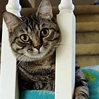 Domestic Mediumhair Cat for adoption in Southlake, Texas - Marigold
