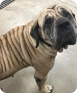 Mastiff Dog for adoption in Dahlgren, Virginia - KGAC #11-25-15-1 - 'Roxy'