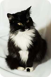 Domestic Longhair Cat for adoption in Daleville, Alabama - Oreo