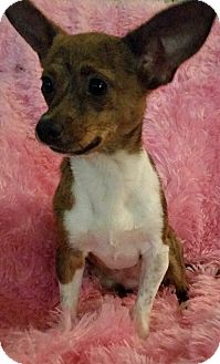 Chihuahua Mix Dog for adoption in San Antonio, Texas - Lilly